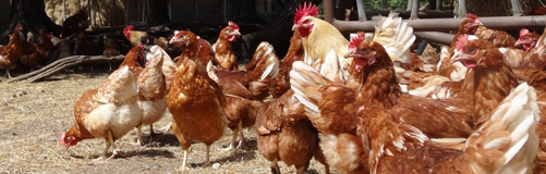 Frischeier aus Beelitz - Verzicht auf gentechnisch verändertes Futter